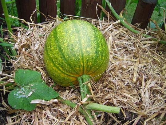 A pumpkin turning orange
