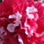 Petunia sept 09