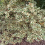 Silver Box, American Boxwood 'Elegantissima' (Buxus sempervirens) (Silver Box, American Boxwood 'Elegantissima' (Buxus sempervirens))