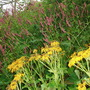 persicaria 'Firetail' and ligularia 'Othello' (Persicaria)
