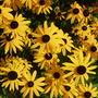 Rudbeckia 'Goldsturm' (Rudbeckia fulgida (Black-eyed Susan))