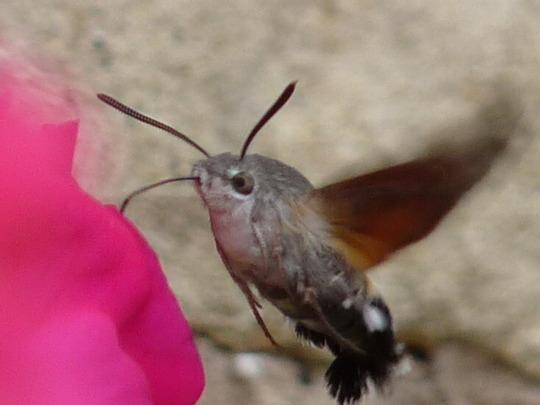 Hummingbird Hawk moth.......Macroglossum stellatarum   1 (Petunias.......surfinias)