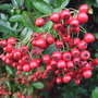 Pyracantha_berries
