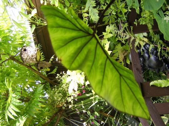 Aroid Taro (Colocasia esculenta (Dasheen))