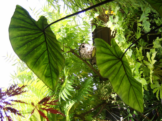 Aroid taro colocasia esculenta (Colocasia esculenta (Dasheen))