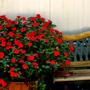 Bench_and_impatiens_small_
