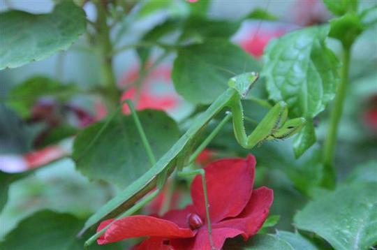 Impatiens & Praying Mantis (Impatiens wallerana)