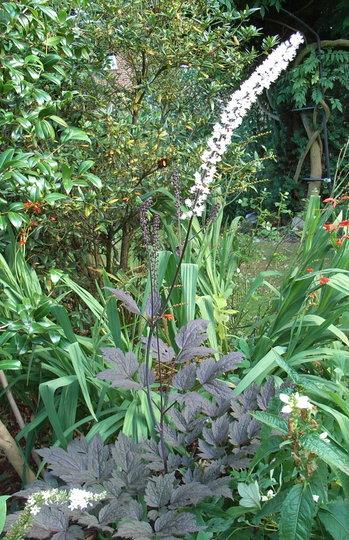 Actaea simplex Atropurpurea Group 'Brunette' - 2009 (Actaea simplex Atropurpurea Group)