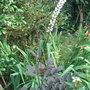 Actaea_simplex_atropurpurea_group_brunette_2009