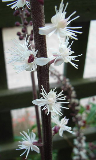 Actaea simplex Atropurpurea Group 'James Compton' (close-up) - 2009 (Actaea simplex Atropurpurea Group)