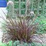 Pennisetum_setaceum_rubrum_2009
