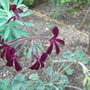 Pelargonium sidoides (Pelargonium sidoides)
