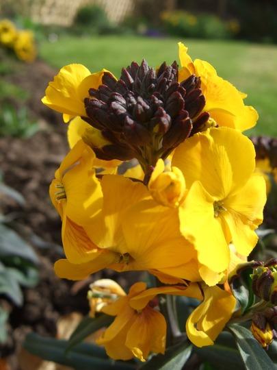 Erysimum 'Walbertson's Fragrant Sunshine' (Erysimum)