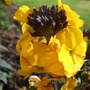 Erysimum_walbertson_s_fragrant_sunshine_2