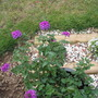 Verbena homestead purple  (Verbina)