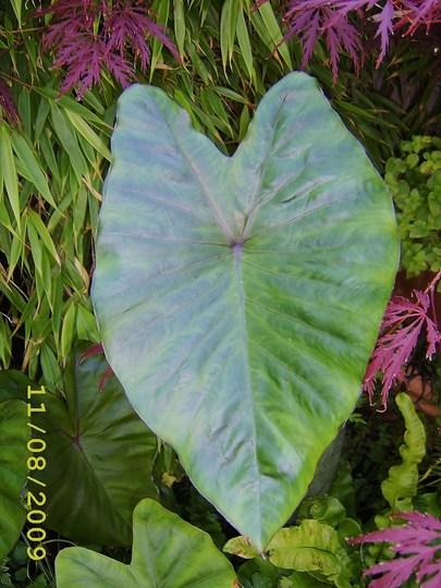 Aroid (Colocasia esculenta)