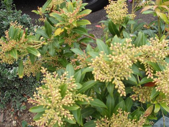 Pieris japonica (Lily of the valley bush) (Pieris japonica (Lily of the valley bush))