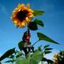 sunflower and my friend jack