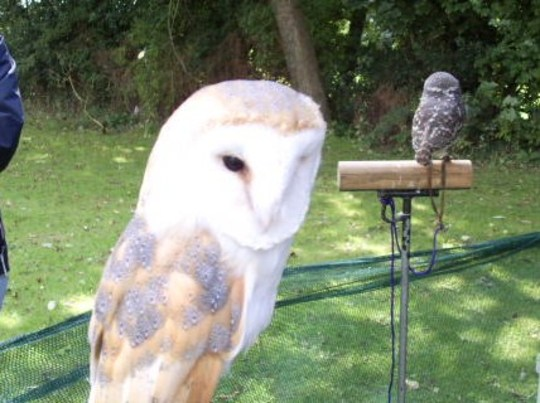 Tawny  Owl at fete