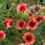 Potentilla Miss Willmott (Potentilla)