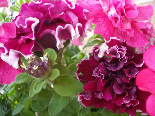 petunias sept 09. (Petunia double)