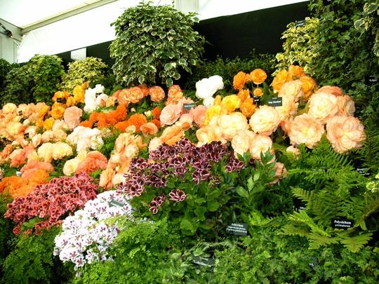 Shrewsbury Flower Show 2005 (Begonia)