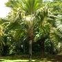 Lodoiecea maldivica - Double Coconut Palm (Lodoiecea maldivica - Double Coconut Palm)