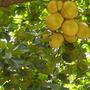 Artocarpus heterophyllus - Jackfruit Tree (Artocarpus heterophyllus - Jackfruit Tree)
