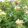 honeysuckle (banskia marginata)