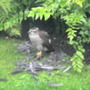 SPARROWHAWK EATING A BLACKBIRD