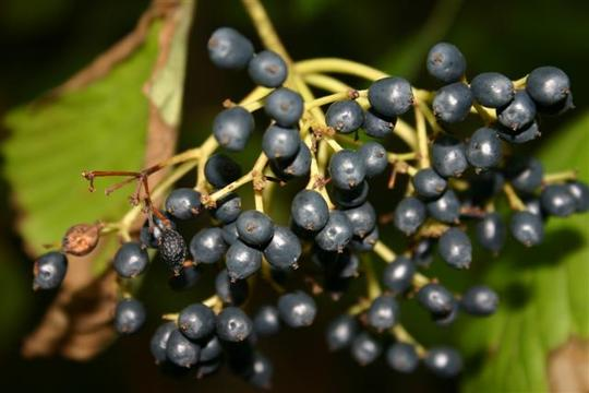 Berries from the Devil's Walking Stick (Aralia spinosa)