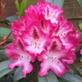 Pink/Purple flowered rhododendron
