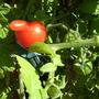 Nosey tomato