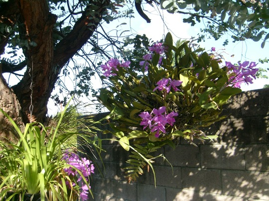 My mother's garden-purple orchids hanging from the eucalyptus tree.