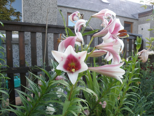 more lillies