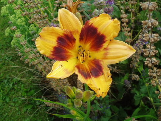 Daylily 'Beat the Barons (Hemerocallis)