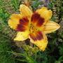 Daylilies003_7