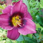Black Eye (Hemerocallis)