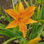 Burning Daylight (Hemerocallis)