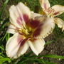 Chicago Picotee Lace (Hemerocallis)