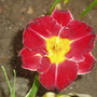 Lips of Fire (Hemerocallis)