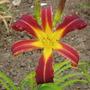 Daylily 'Longstocking' (Hemerocallis)