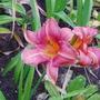 Daylily 'Longfields Glory' (Hemerocallis)