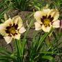 Daylily 'Moonlit Masquerade' (Hemerocallis)