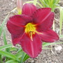 Daylily 'James Marsh' (Hemerocallis)