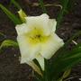Daylily 'Joan Senior' (Hemerocallis)