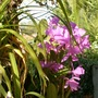 My mother's garden - more purple orchids