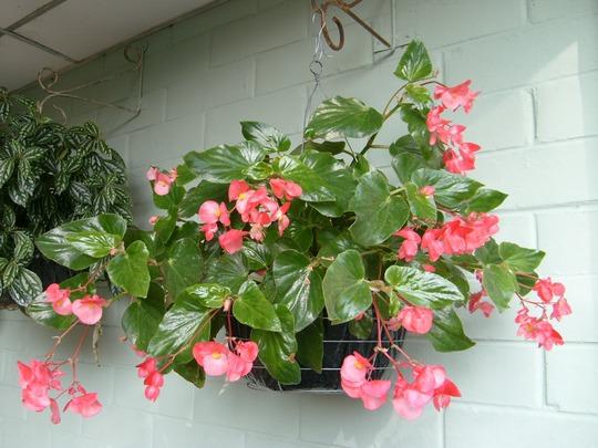 My mother's garden - hanging begonias
