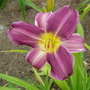 Daylily 'Prairie Blue Eyes' (Hemerocallis)