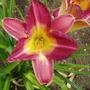 Daylily 'Knave' (Hemerocallis)